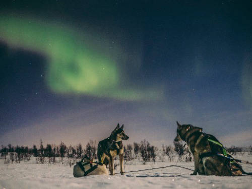 huskies with northern lights in norway