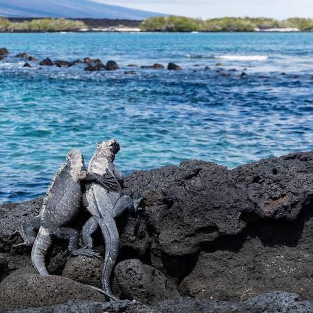 Iguanas on rocks in the Galapagos
