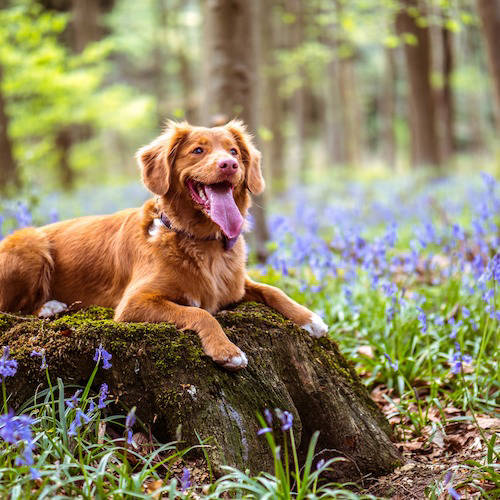 Dog on a tree stump in a forest of bluebells
