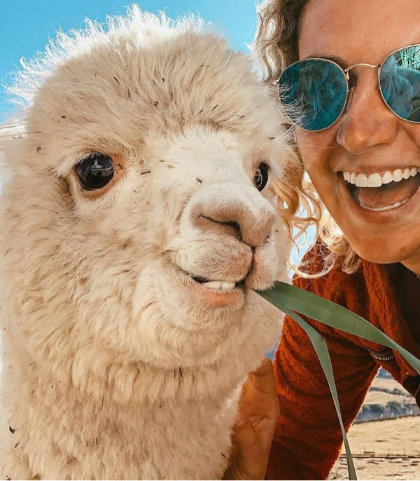 Alpaca eating with a woman nearby