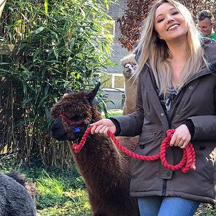 Person walking an alpaca